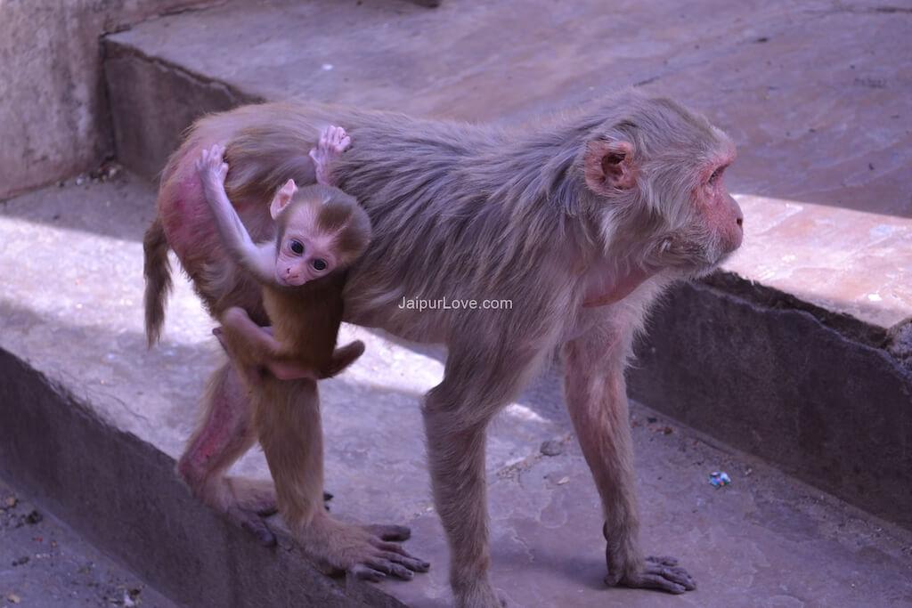 monkey-temple-jaipur-4