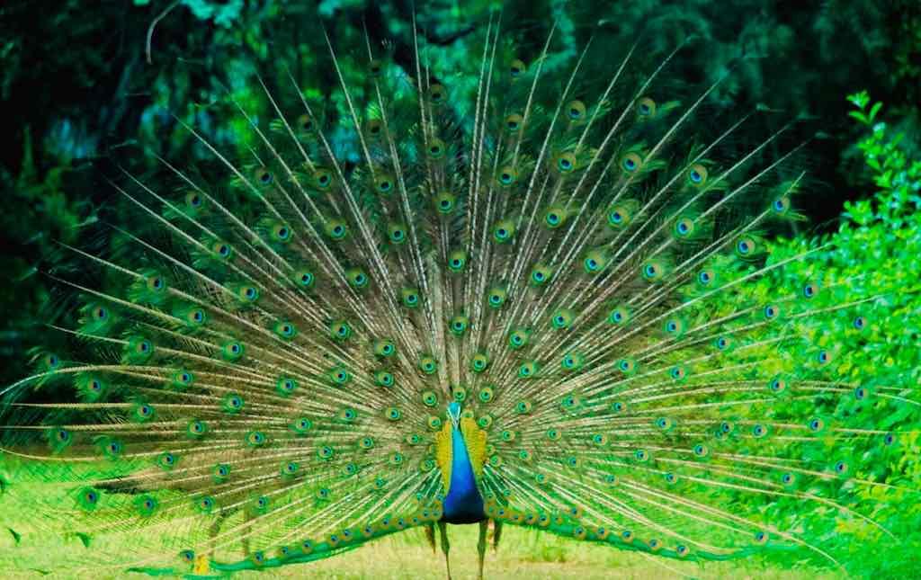peacock garden Smriti Van jaipur